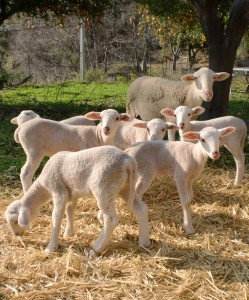 Cropped lambs 249x300 A GREAT SHEEP
