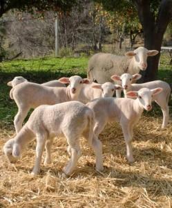 corderos 249x300 EL RETORNO DE BELLA
